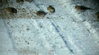 Horned Larks and a Lapland Longspur