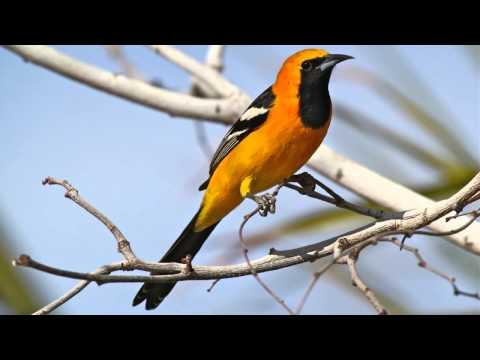 Пение птиц. Иволга. Красивое пение птиц