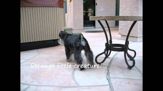Kahless Meets Kestra - Miniature Schnauzer - Show Off Pet.wmv