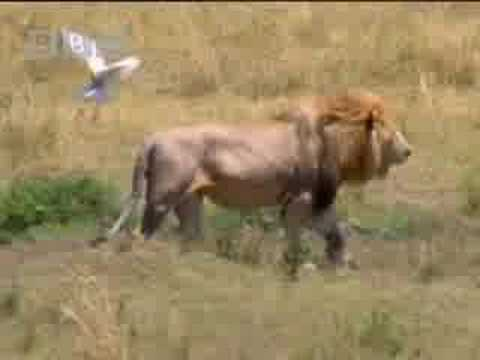 King lion jeopardises hunt in the wild - BBC wildlife