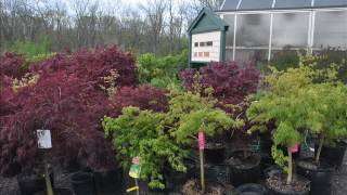 Unique and Delicate Japanese Red Maple Tree We Grow