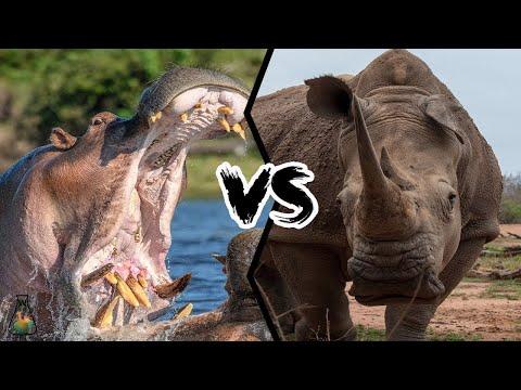 Видео: НОСОРОГ В ДЕЛЕ! Носорог против бегемота, слона, львов