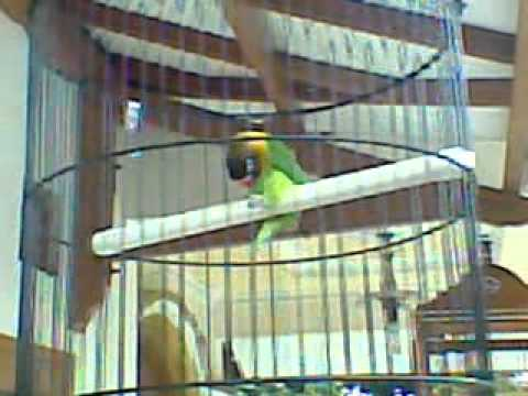 Love bird joget lucu Mp3