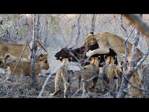 Lion Cubs Learns to Hunt when Lioness holds on to a young buffalo