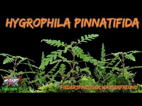 Der fiederspaltige Wasserfreund - Hygrophila pinnatifida | ADVENTdicted! Adventskalender| Türchen 17