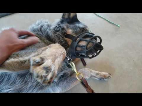 Blue heeler, dog & human aggression, day 2