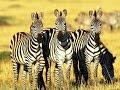 Семейство зебр. Документальный фильм.