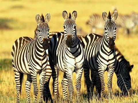 Мультфильм про семейство зебр