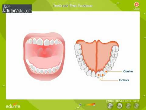 Teeth And Their Functions Youtube