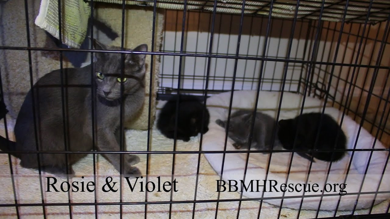 Rosie Russian Blue Cat for Adoption