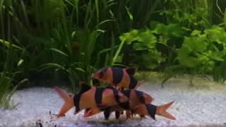 видео Боция клоун (Chromobotia macracanthus)
