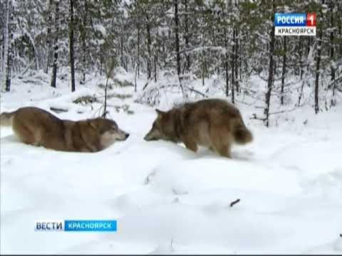 В Назаровский район вернулись волки и напали на скот