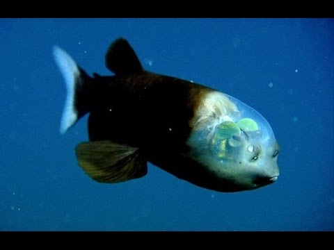 The Pacific Barreleye Fish And Its Weird See Through Head