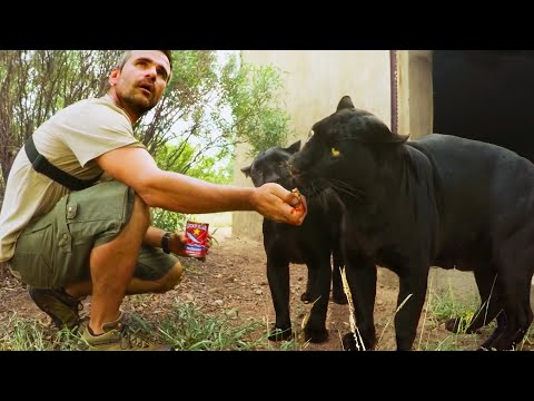 Operation Fang: Black Leopards & Hyenas | Lion Whisperer Membership