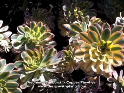 Aeonium 'Sunburst'  - Copper Pinwheel