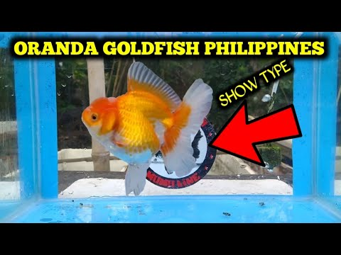 Goldfish Oranda Philippines | Red White Oranda | Calico Oranda