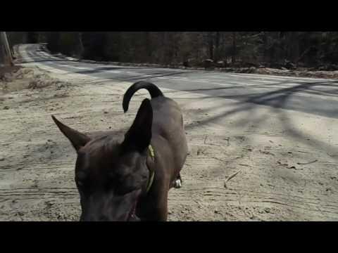 Godiva The Basenji || TheRealBeeno