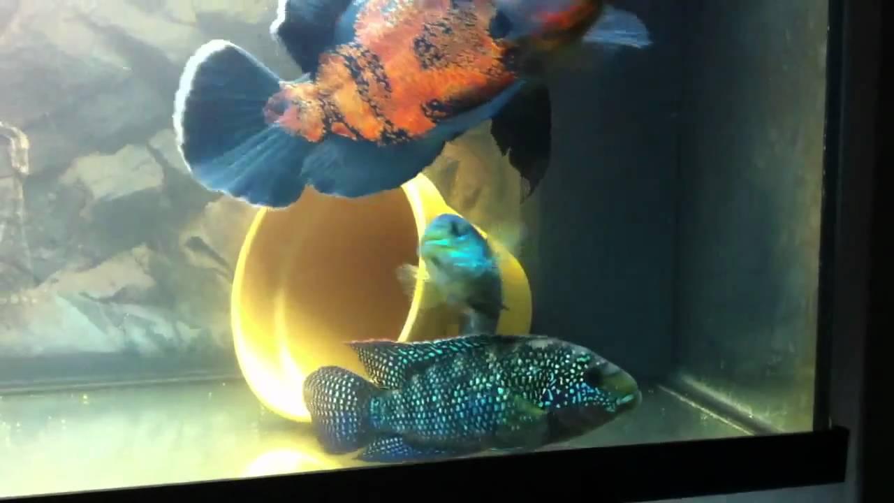 Oscar jack dempsey cichlids youtube for Jack dempsy fish