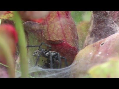 Watch a spider snatch a fly and eat it in the blink of an eye