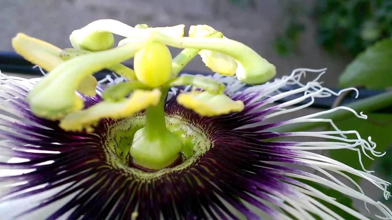растение пассифлора
