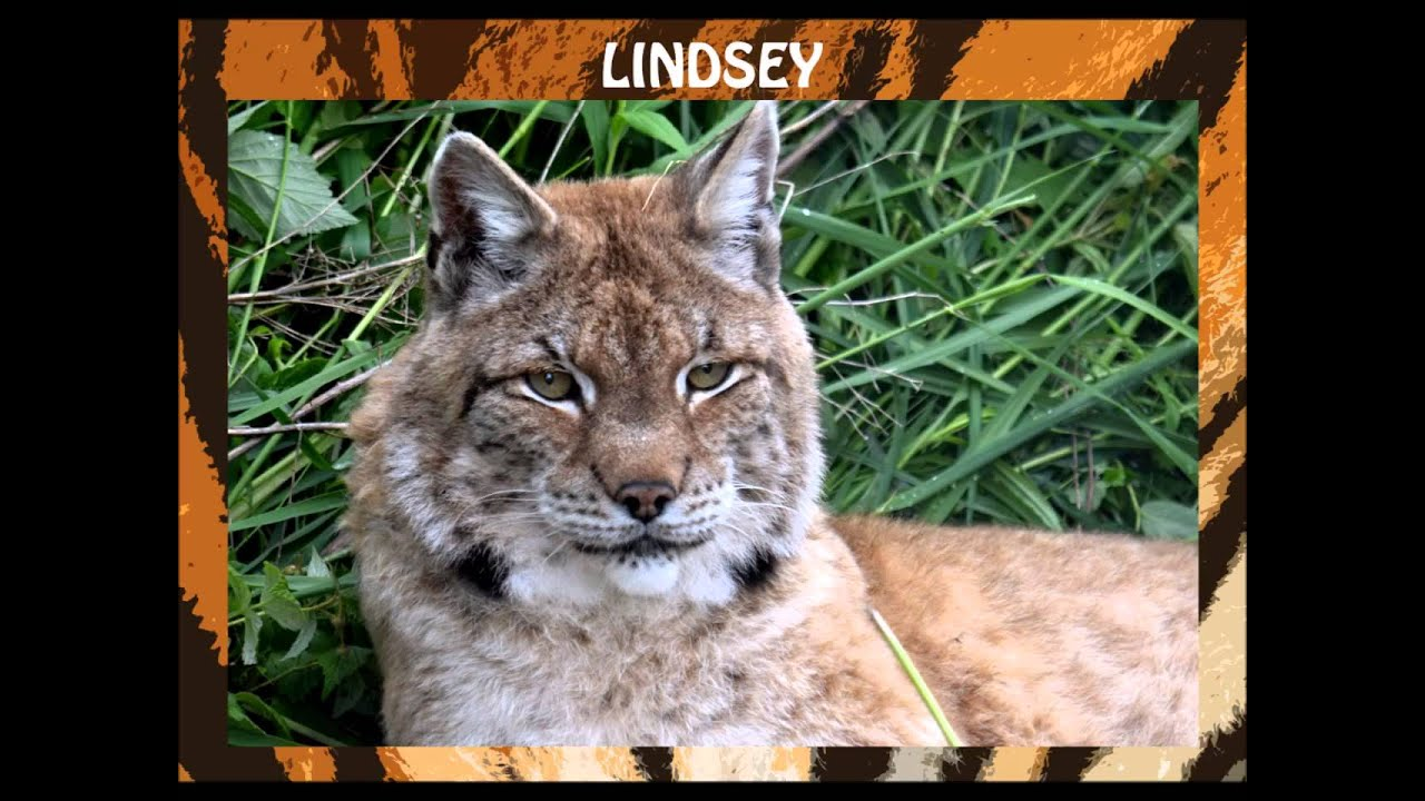 A Lynx Family Visited A Man's Home And The Photos Are Amazing |Lynx Cat Family