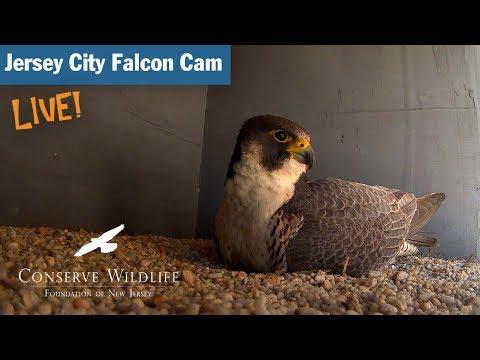 Jersey City Falcon Cam – Pinhole Camera