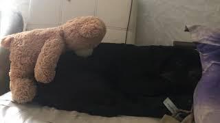 Щенок мастино наполитано( неаполитанский мастиф) 5.5 месяцев спит, сладко спит
