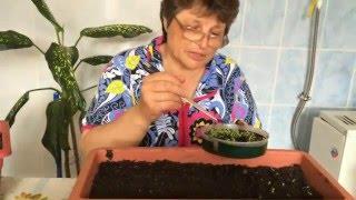 видео Посадка астр на рассаду в домашних условиях и дальнейший уход за растениями
