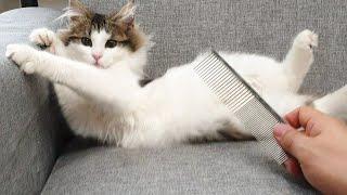 어디든지 빗질이 가능한 고양이