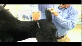 Super Styling Session The German Trim For Poodles Grooming Tips