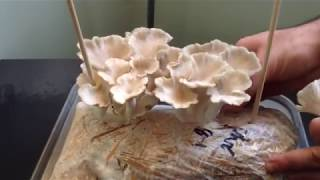 How to set up your Oyster Mushroom Mini-Farm