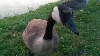 Friendly Canada Goose Talking to Me