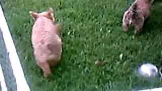 Red Wheaten Cairn Terrier