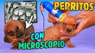 VIENDO A LOS PERRITOS EN EL MICROSCOPIO | POLINESIOS VLOGS
