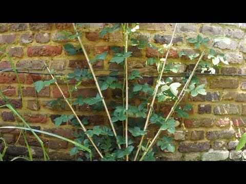 How to start tying and training a climbing rose after planting. (short version)