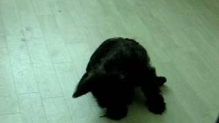 Cairn Terrier Puppy Chasing Tail