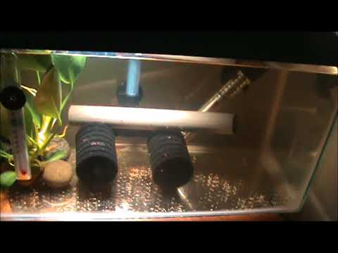 Hatching Angel Fish Eggs Without The Parents
