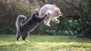 Cat Action in slow motion: Cute Maine Coon Cats running, playing, jumping