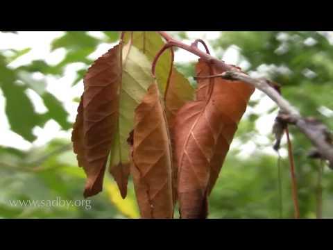 Спасаем вишню и грушу. Закручиваются листья и сохнут, что делать? Монилиоз. Плодовая гниль. ©