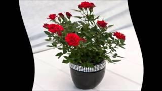 Как ухаживать за розой в горшке.Как ухаживать за домашней розой(как ухаживать за розами в домашних условиях.как ухаживать за комнатной розой.как ухаживать за домашней..., 2016-02-25T07:04:08.000Z)