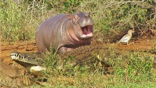 Cute Baby Hippo vs Crocodile and Buffalo