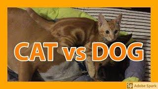 やんちゃな子猫のチャムが犬のロキにケンカを売るが…結果はどうなるのか...