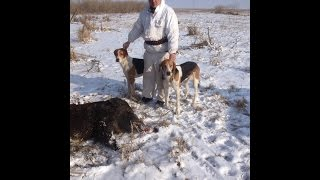 Охота на кабана с гончими заводчика Небобова В А