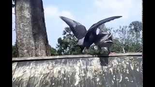 cara burung merpati memberi makan anaknya