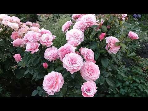 Розы. Тиклед Пинк, прекрасная флорибунда.
