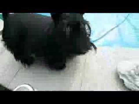 Scottish terrier jumps in the pool