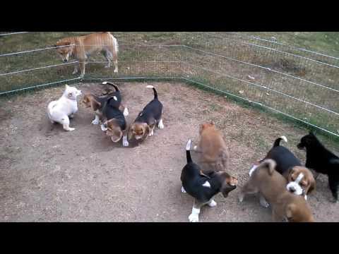 Beagle & shiba szczeniaki