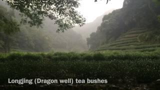 The journey of searching Longjing tea@Jiuxi Hangzhou龍井問茶