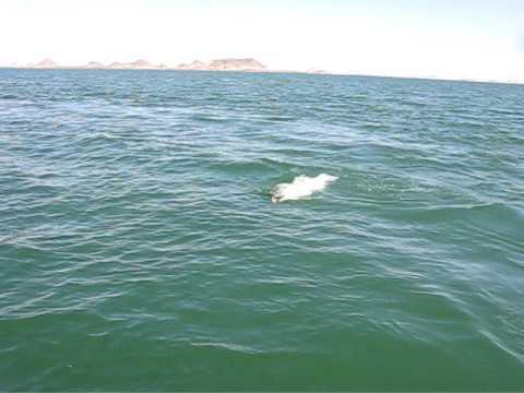 Monster nile perch on rapala super shad fishing lake for Lake of egypt fishing report