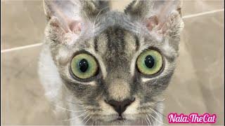 Funny Cat Nala, Funny playing Devon Rex